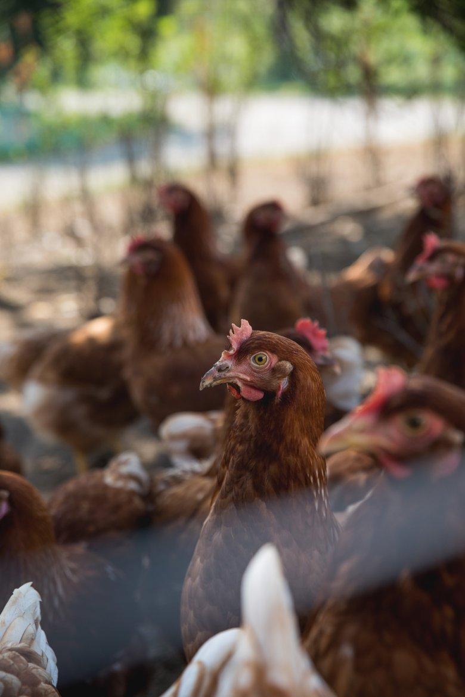 Alle eieren die verwerkt worden in de Mauracher restaurants worden gelegd door de kippen van het Lindhof.