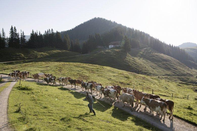 38 koeien grazen van mei tot oktober op de Burgeralm.