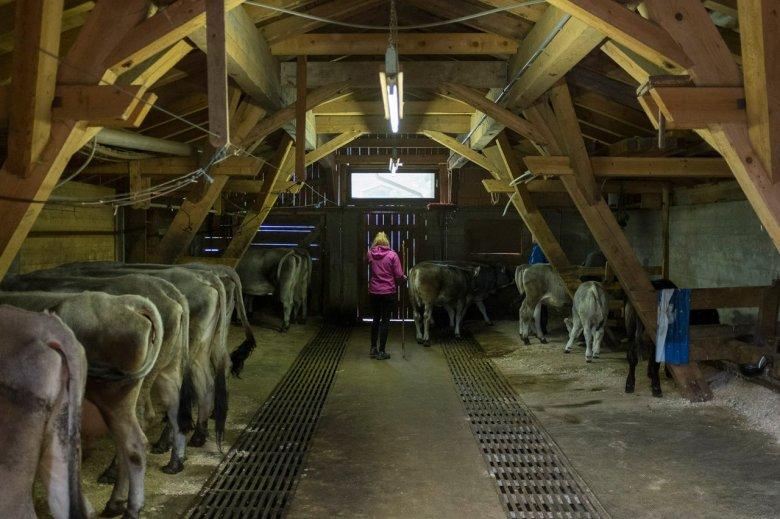 De Falbesoner Ochsenalm is nog steeds een van de weinige almen in het gebied waar de melk, boter en Graukäse afkomstig zijn uit eigen productie.
