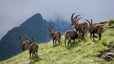 Steenbokken in Nationalpark Hohe Tauern, © Tirol Werbung/Bernd Ritschel