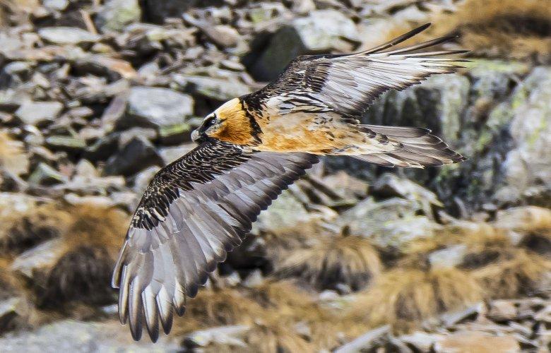 Een vleugelspanwijdte van 290 centimeter is geen uitzondering bij een lammergier